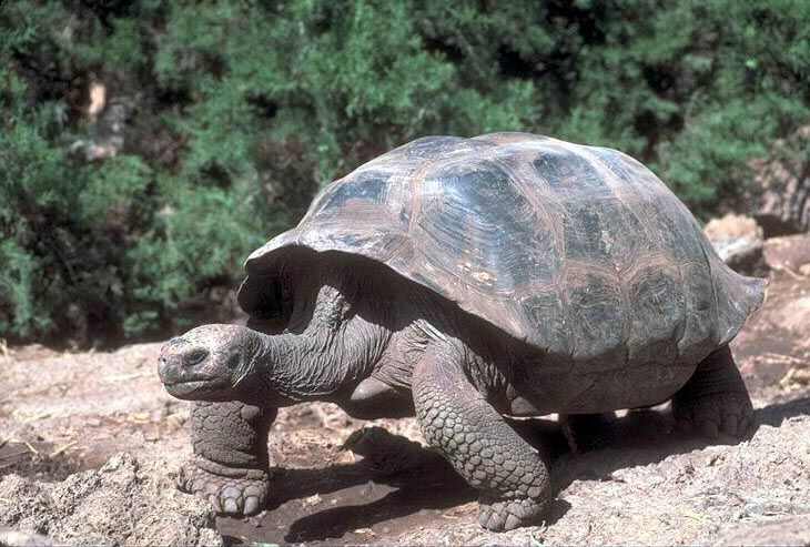 photograph of a giant tortoise